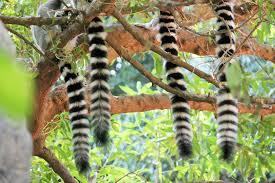 lemur tail | Chelsea Scrolls