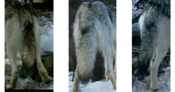 wolf tails | Chelsea Scrolls