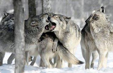 wolves | Chelsea Scrolls