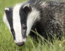 badger | Chelsea Scrolls