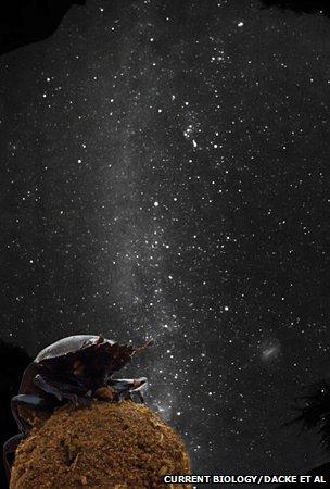 dung star