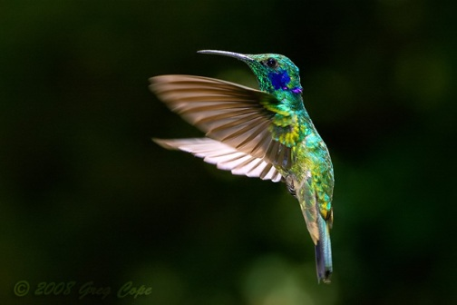 hummingbird-flying