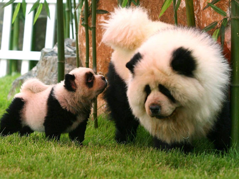 chow chow panda the chelsea scrolls