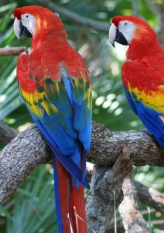 macaw | Chelsea Scrolls