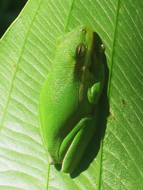 green tree frog photo by chelsea schuyler