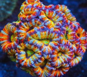 Rainbow coral Acanthastrea