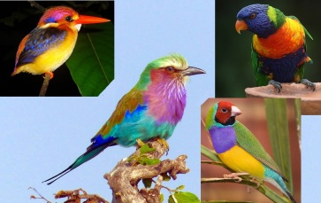 Oriental dwarf kingfisher (top left), lilac breasted roller (center), rainbow lorikeet (top right), Gouldian finch (lower right)