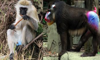 vervet monkey, mandrill