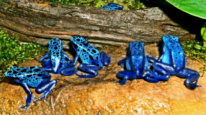 The poison dart frog's ritual back-turning on pigment