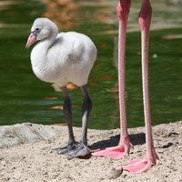 pigment flamingo