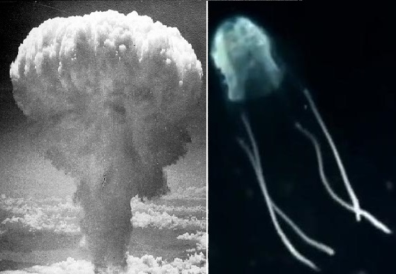 mushroom cloud box jellyfish