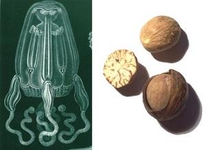 nutmeg jellyfish chelsea scrolls