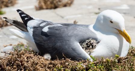 seagull herring gull baby