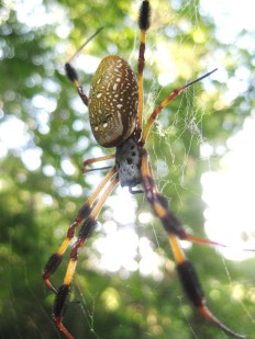 spider barataria